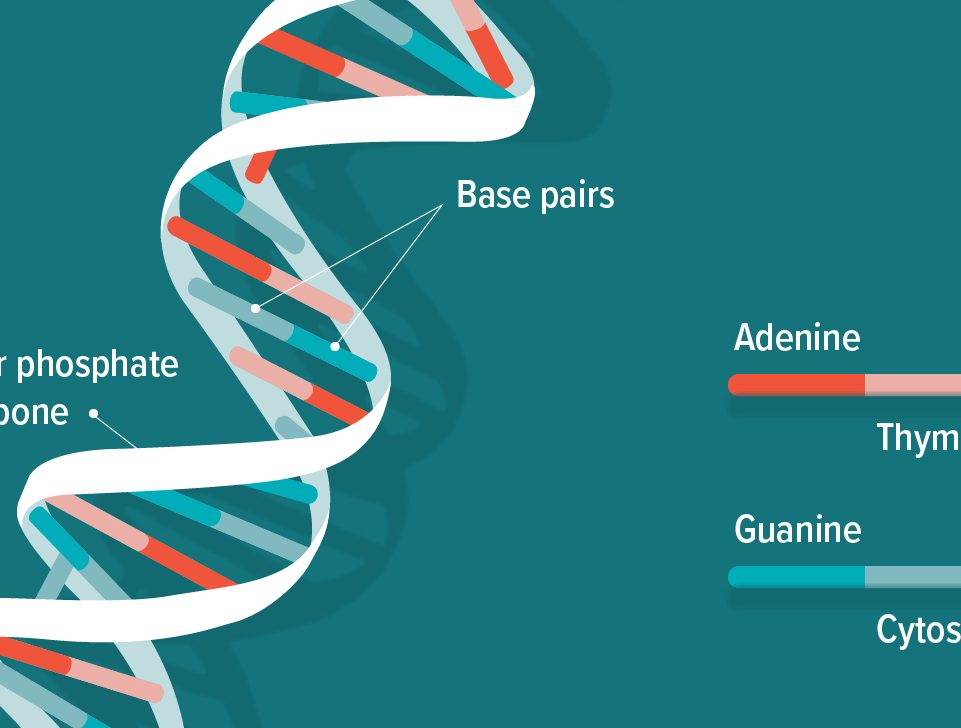 a diagram of a strand of DNA